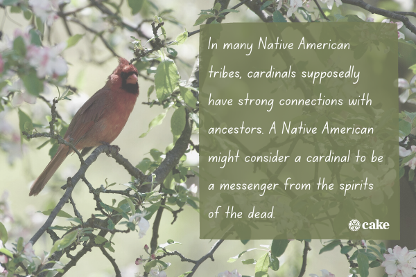 Text about cardinals' significance with an image of a cardinal in the background